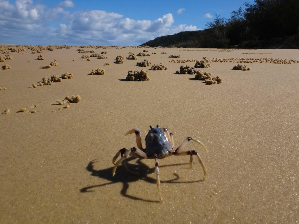 Soldier Crab