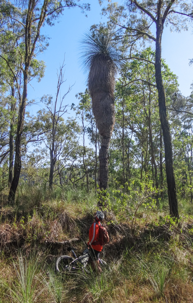 Giant Grass Tree