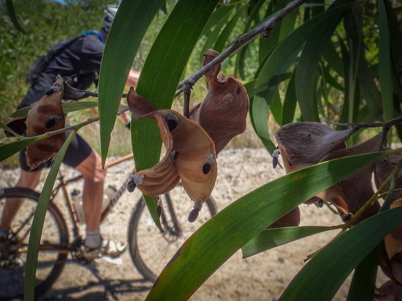 Eucalyptus Seed Pods